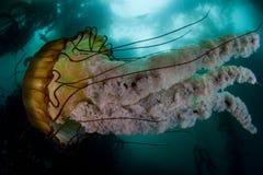 Jellyfish w Kelp lesie Obrazy Royalty Free