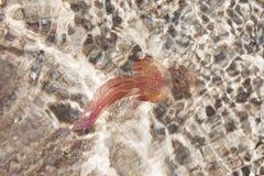 Jellyfish w morzu śródziemnomorskim. Zdjęcie Stock