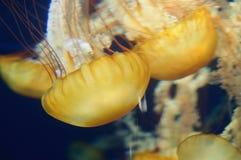 Jellyfish w oceanie Zdjęcie Stock