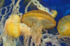 Jellyfish w oceanie Zdjęcia Royalty Free