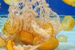 Jellyfish w oceanie Zdjęcie Royalty Free