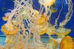 Jellyfish w oceanie Obraz Stock