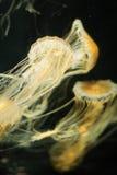 Jellyfish w oceanie Zdjęcia Stock