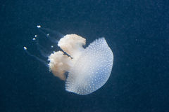 jellyfish in water Royalty Free Stock Photography