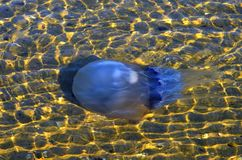 Jellyfish in the water Stock Photos