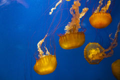 Jellyfish in water Stock Image