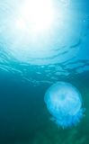 Jellyfish and water surface Royalty Free Stock Photo
