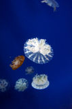 Jellyfish in wuhan polar region ocean world Stock Photos