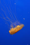 Jellyfish. A yellow jellyfish with long, stinging tentacles swimming downward Royalty Free Stock Photos