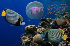 Jellyfish z kolorową tropikalną ryba Obrazy Royalty Free
