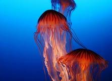 Jellyfishes Obraz Stock