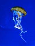 jellyfishes Zdjęcie Royalty Free