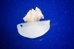 jellyfishes Zdjęcia Stock