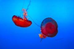 jellyfishes Obrazy Stock