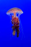 jellyfishes Fotografia Royalty Free