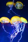 jellyfishes zdjęcie stock
