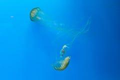 jellyfishes Στοκ Φωτογραφίες