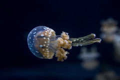 jellyfishes Fotografia Stock
