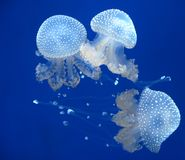jellyfishes Obrazy Royalty Free