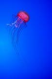 jellyfishes Obrazy Royalty Free