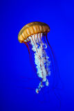 jellyfishes Fotografia Royalty Free