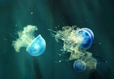 jellyfishes Obraz Royalty Free