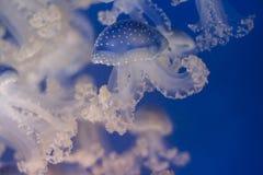 jellyfishes Στοκ εικόνα με δικαίωμα ελεύθερης χρήσης
