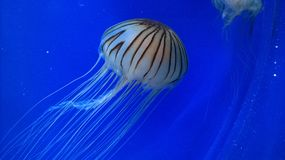 jellyfishes Fotografia Stock
