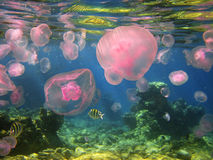 Jellyfishes in the Gulf of Eilat, Red Sea, Israel Royalty Free Stock Photo