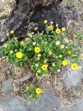 Jelow狂放的小和小花,beatifull,tendre 免版税库存照片