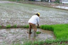 jemand pflanzt Reis auf den Gebieten stockfotos