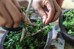 Jemand wachsende kleine Bonsais Lizenzfreies Stockbild