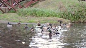 Jemand zieht die Enten ein stock footage