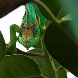 Jemen chameleon. Green Jemenchameleon climbing through branches - square image Royalty Free Stock Images