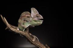 Jemen kameleon Obraz Royalty Free