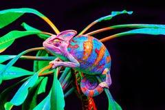 Jemen kameleon odizolowywający na czarnym tle Zdjęcie Royalty Free