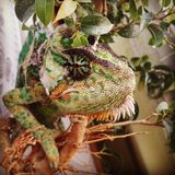 ½ Jemenskà хамелеона Стоковое фото RF