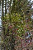 Jemioły gałąź na tle czerwone jagody obraz royalty free