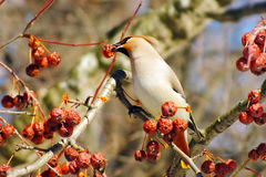 Jemiołuchy łasowania jagody z, zimy przetrwanie, gromadzą się ptaki, żywieniowi ptaki zdjęcie royalty free