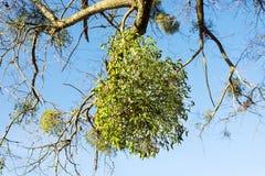 Jemioły dorośnięcie na drzewie Obrazy Stock
