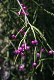 Jemioła kaktusa owoc, typowa Atlantyccy tropikalnych lasów deszczowych drzewa Zdjęcia Stock