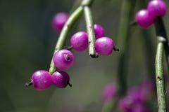 Jemioła kaktusa owoc, typowa Atlantyccy tropikalnych lasów deszczowych drzewa Zdjęcie Stock