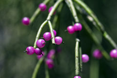Jemioła kaktusa owoc, typowa Atlantyccy tropikalnych lasów deszczowych drzewa Zdjęcia Royalty Free