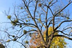 Jemioła na drzewie z niebieskim niebem Fotografia Royalty Free