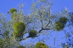 Jemioły roślina na drzewie Zdjęcie Royalty Free