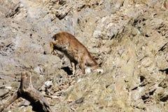 Jemlahicus hemitragus Himalayan tahr Στοκ Εικόνες
