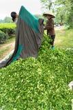 Jen Bai Wietnam, Sep, - 16, 2016: Grono zielona herbata opuszcza po zbierać w Van Chan okręgu Fotografia Royalty Free