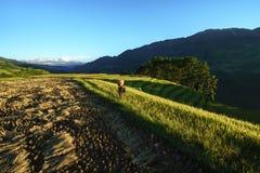 Jen Bai Wietnam, Sep, - 18, 2017: Tarasowaty ryżu pole w żniwo sezonie z mniejszość etniczna mężczyzna przewożenia ryż zdojest na Obraz Stock