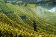 Jen Bai Wietnam, Sep, - 18, 2017: Tarasowaty ryżu pole w żniwo sezonie z mniejszości etnicznej kobietą na polu w Mu Cang Chai, Vi Fotografia Royalty Free