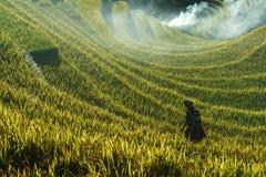 Jen Bai Wietnam, Sep, - 18, 2017: Tarasowaty ryżu pole w żniwo sezonie z mniejszości etnicznej kobietą na polu w Mu Cang Chai, Vi Obraz Royalty Free